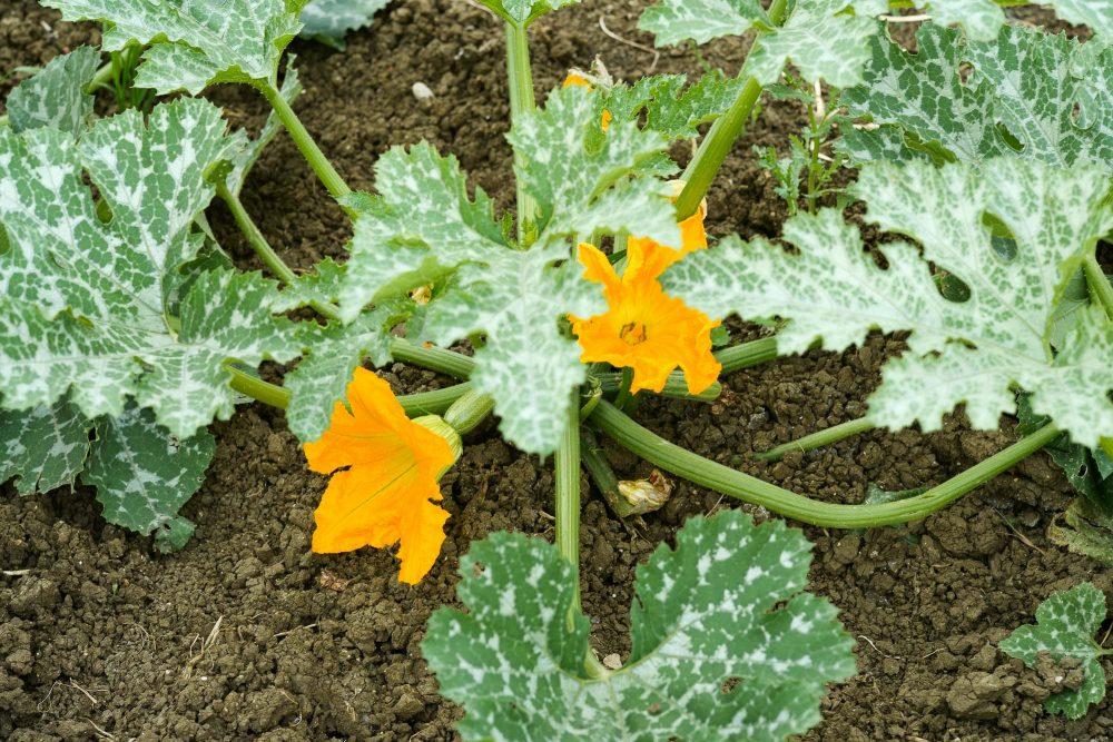 fiore di zucca 2